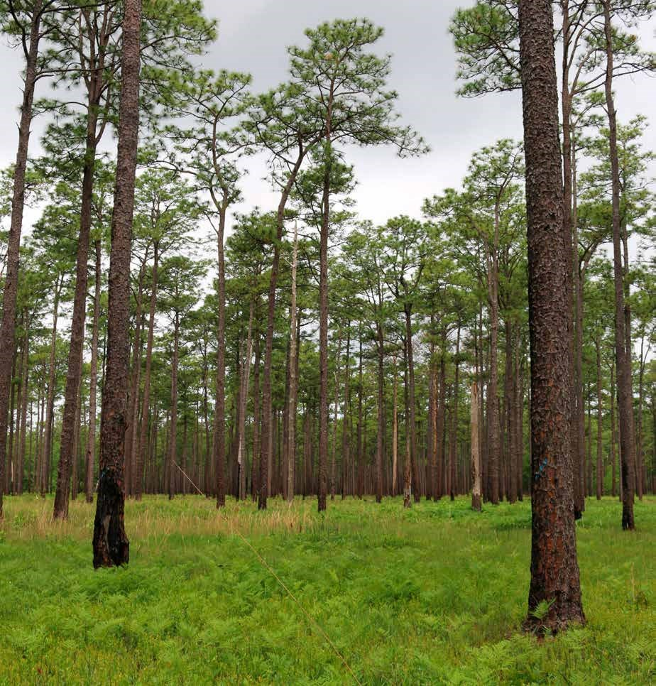 NFWF LSF Photo Longleaf Pine Forests